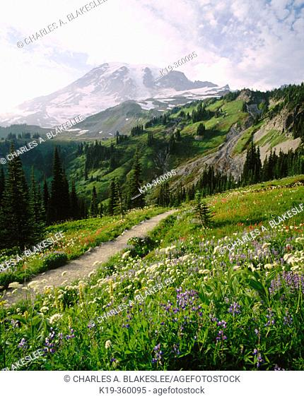 Trail through wildflowers on Mazama Ridge and Mount Rainier in background. Mount Rainier National Park. Pierce County, Washington. USA