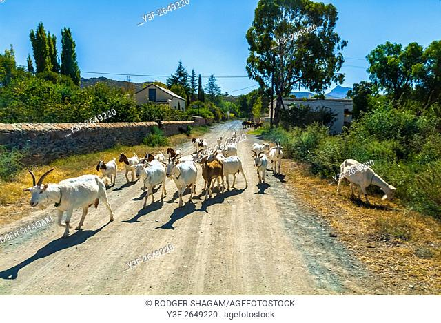 Way home. The Billy goat leads the flock home at the end of the day. Western Cape Province, South Africa