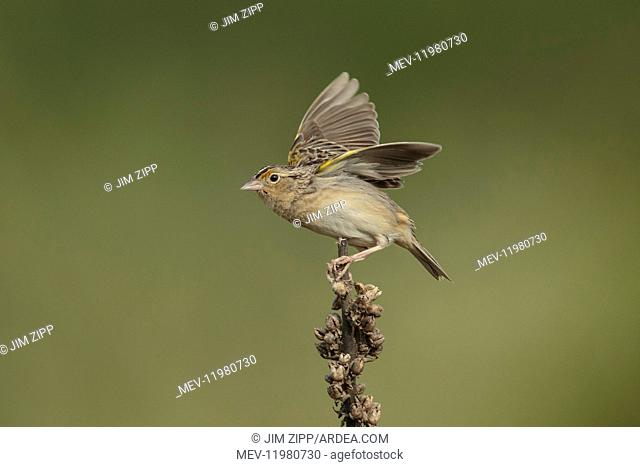 Grasshopper Sparrow in field