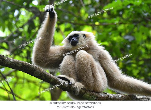 Female pileated gibbon swinging on a tree branch,Siem Reap province,Cambodia,South east Asia