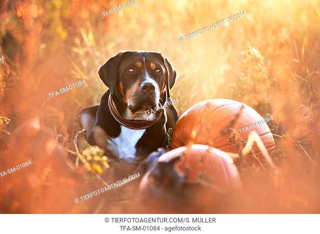 lying Greater Swiss Mountain Dog