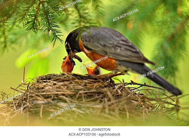 American robin (Turdus migratorius) Nesting and parenting behaviour- Adult feeding young, Greater Sudbury, Ontario, Canada