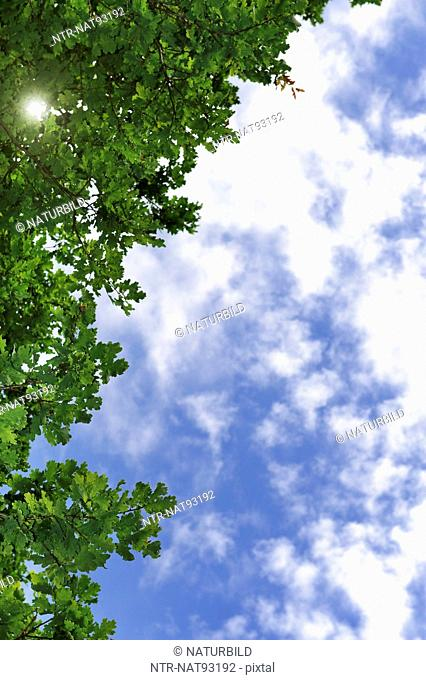 Low angle view of oak branches and sky