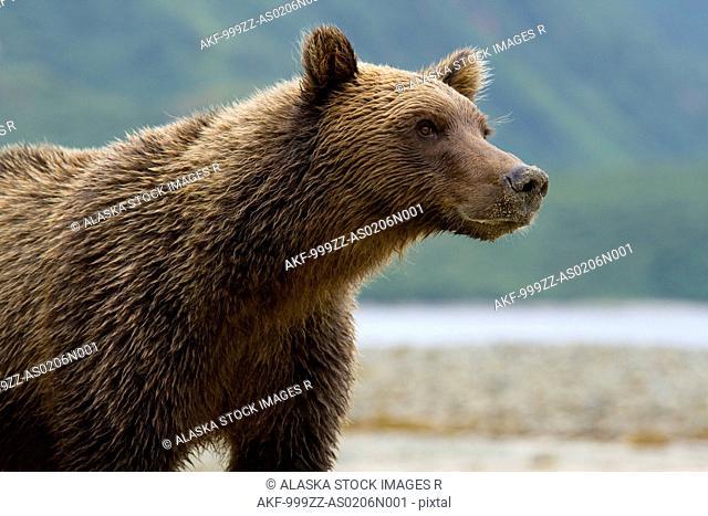 Coastal brown bear standing on beach at Kinak Bay, Katmai National Park & Preserve, Southwest Alaska, summer