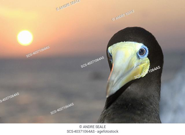 Male brown booby, Sula leucogaster, and sunset, St Peter and St Paul's rocks, Brazil, Atlantic Ocean
