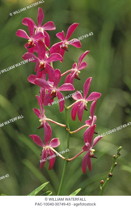 Close-up of a single vine of pink orchids growing in field, blurry background