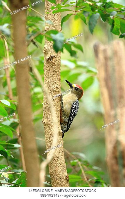 Red-crowned Woodpecker, Venezuela