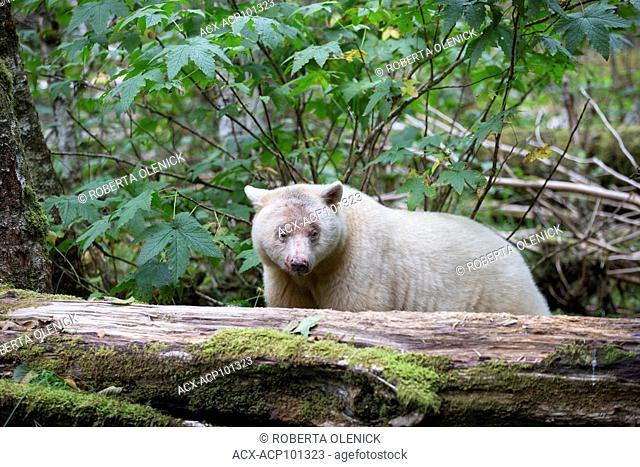 Spirit bear (Ursus americanus kermodei), female, Great Bear Rainforest, British Columbia, Canada. Approximately 1 in 10 bears of this subspecies of black bear...