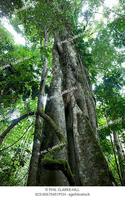 Mighty mahogany tree view from below in the rainforest, Amazon basin, Pastaza, Ecuador