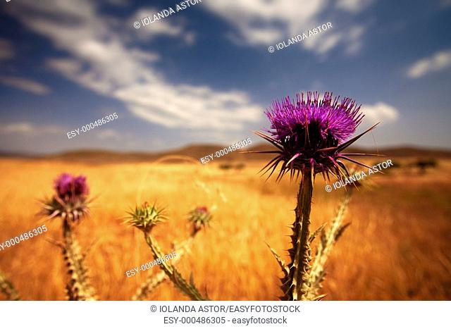 Flowers  Cardo silvestre  Silybum marianum  Parque Natural del Cabo de Gata, Almería, Andalusia, Spain  Foreground  Color