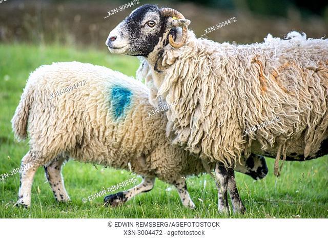 Lamb goes in for milk, Yorkshire Dales, UK