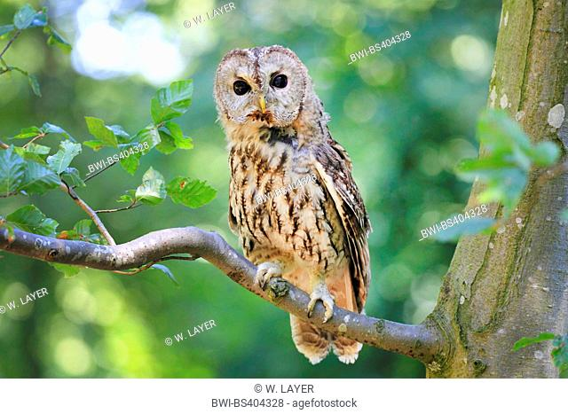 Eurasian tawny owl (Strix aluco), sits on a branch, Germany