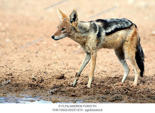 Black-backed Jackal (Canis mesomelas) adult, drinking at waterhole, Kalahari Gemsbok N.P., Kgalagadi Transfrontier Park, Northern Cape, South Africa, December