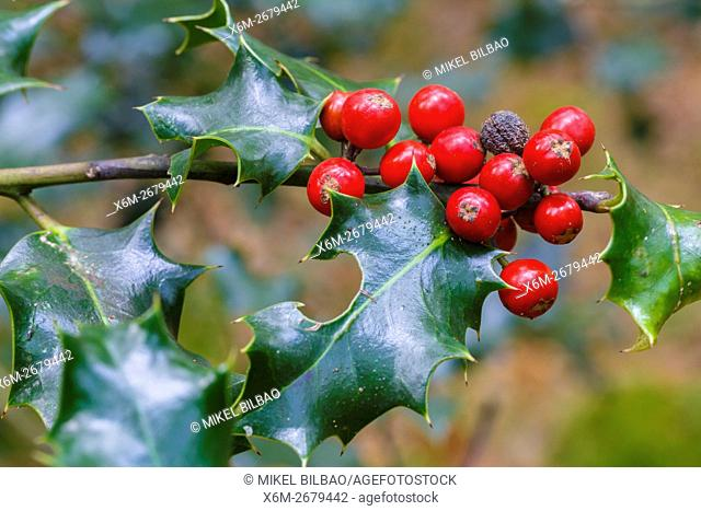 Common holly with fruits (Ilex aquifolium). Saja-Besaya Natural Park. Cabuerniga valley. Cantabria, Spain