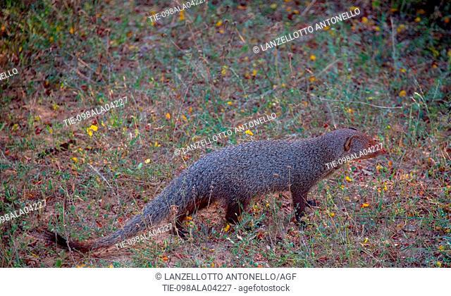 Asia, Sri Lanka, Yala National Park, ruddy mongoose, Herpestes smithii
