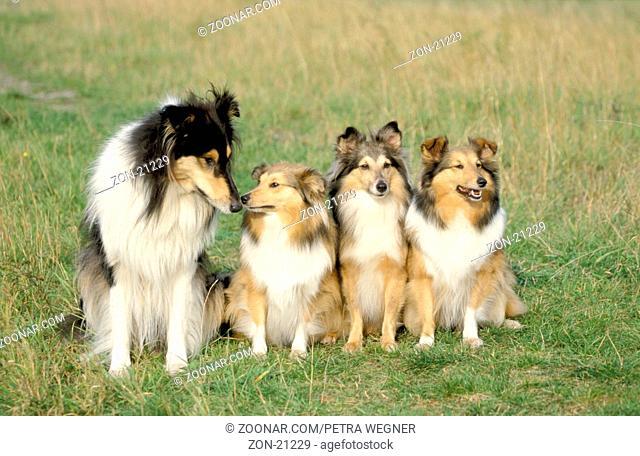 Sheltland Sheepdogs and Collie  /  Shelties und Schottischer Schaeferhund  /  [Schäferhund, Saeugetiere, mammals, animals, Haushund, domestic dog, Haustier