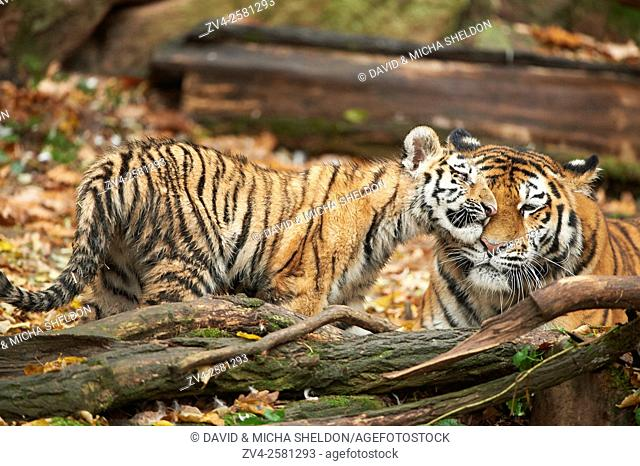 Close-up of Siberian tiger or Amur tiger (Panthera tigris altaica) mother with her youngster in autumn. Captive. Germany
