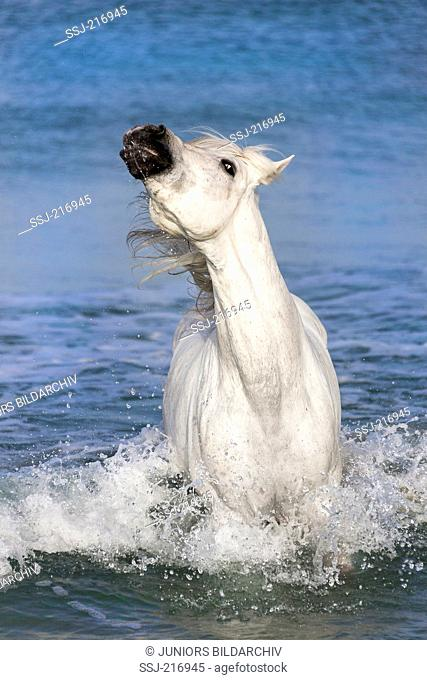 Arab-Barb. Gray stallion standing in surf, showing display behavior by fidgeting with its head. Tunisia