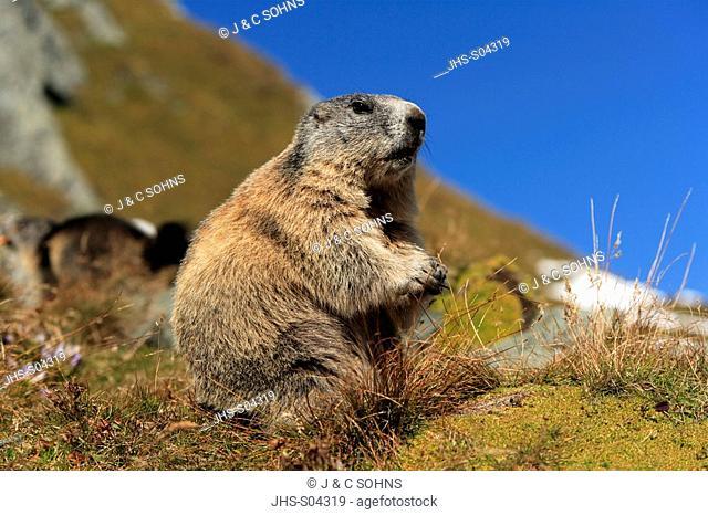 Alpine Marmot,Marmota marmota,Grossglockner Massif,National Park Hohe Tauern,Austria,Alps,Europe,adult