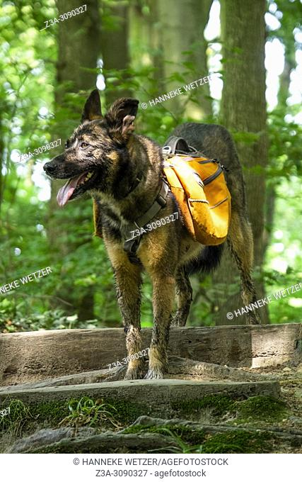 Shepherd dog with a backpack for hiking in the forest, the Netherlands, Europe