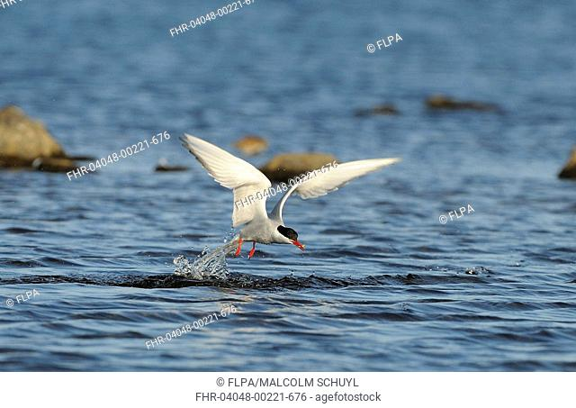 Arctic Tern Sterna paradisea adult, in flight, emerging from water, with fish in beak, North Uist, Outer Hebrides, Scotland