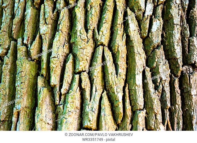 Texture of old oak tree for background