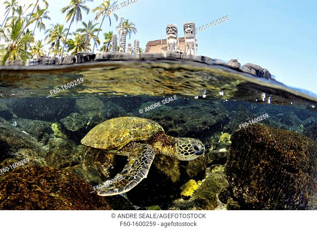 Split image of Hawaiian traditional totens and Green sea turtle, Chelonia mydas, Honaunau Bay, Hawaii, North Pacific