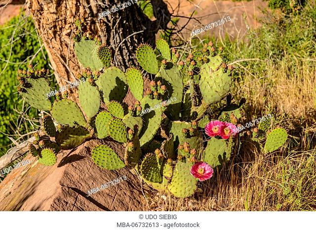The USA, Utah, Washington county, Springdale, Zion National Park, Watchman Trail, Prickly Pear Cactus, prickly pear