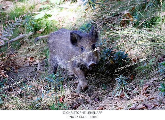 France, Burgundy, Yonne. Area of Saint Fargeau and Boutissaint. Young wild boar in the undergrowth