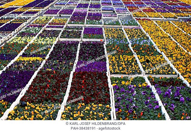Different colored pansies are grown at a nursery near Kitzingen, Germany, 26 March 2013. Photo:Karl-Josef Hildenbrand | usage worldwide
