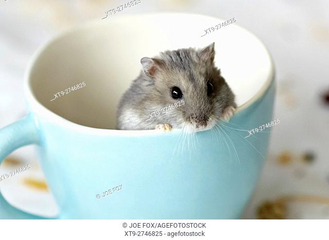 Dwarf Russian Hamster in a teacup