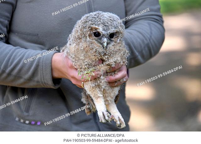 30 April 2019, Schleswig-Holstein, Großenaspe: A tawny owl handed over by a walker in the Eekholt Game Park is held in the hands of an animal keeper