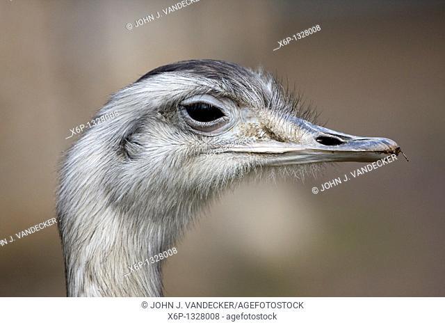 Greater Rhea, Rhea americana, closeup of head  Bergen County Zoo, Paramus, New Jersey, USA