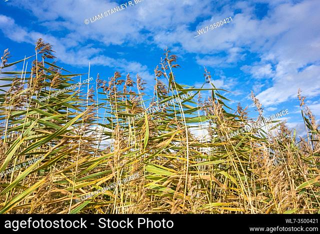 Reeds against cloudy blue sky, Newport Wetlands Wales UK. October 2019