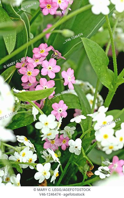 Pink and White Forget-me-not, myositis  Delicate, white flower of multiple fragile blossoms  Ground cover  The flower's name originates from two major legends...