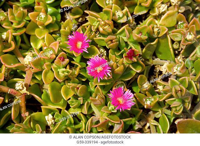 Succulent flowers. Fuerteventura, Canary Islands. Spain