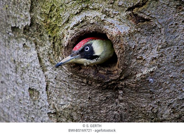 green woodpecker (Picus viridis), looking out of breeding cave, Switzerland