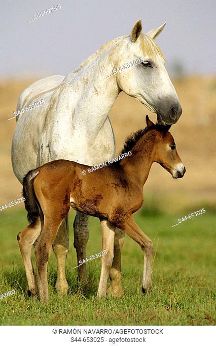 Horses, Doñana National Park. Huelva province, Catalonia, Spain