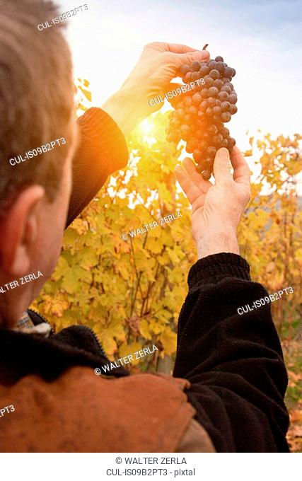 Worker holding bunch of red grapes of Nebbiolo against sunset, Barolo, Langhe, Cuneo, Piedmont, Italy