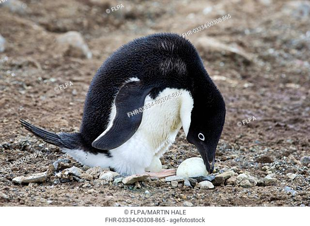 Adelie Penguin (Pygoscelis adeliae) adult, attempting to roll egg back onto feet in order to incubate it, Antarctic Peninsula, Antarctica, November