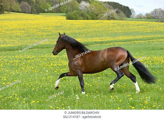 Paso Fino horse stallion Tabu de San Carlos trotting on a flowering meadow, Bavaria, Germany