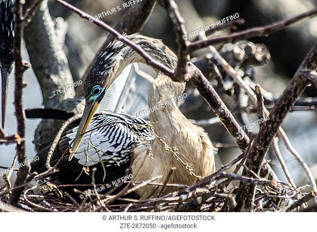 Female anhinga in breeding plumage incubating eggs. Florida, USA