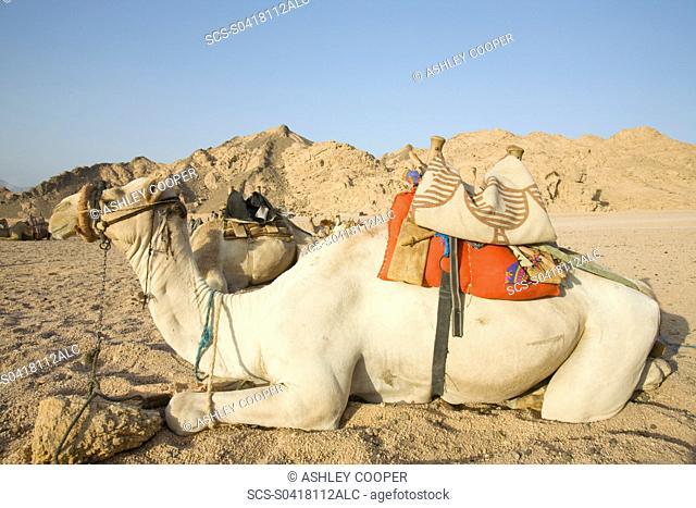 Bedouin camels in the Sinai Desert near Dahab in Egypt