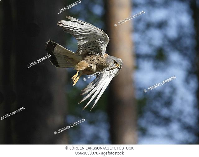 Kestrel in flight. Boden, Vasterbotten, Sweden