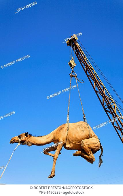 Turkmenistan - Ashgabat - Sunday Market - Camel being hoisted into the back of a truck
