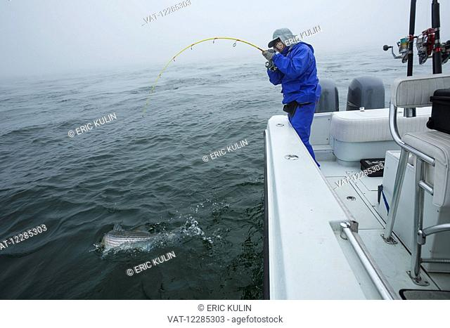Fishing for Striped Bass (Morone saxatilis); Cape Cod, Massachusetts, United States of America