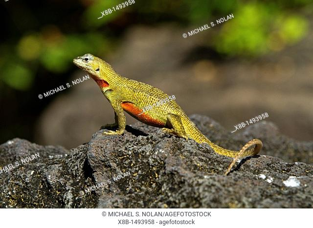 Lava lizard Microlophus spp in the Galapagos Island Archipelago, Ecuador MORE INFO There are 7 different endemic species of Microlophus within the Galapagos...