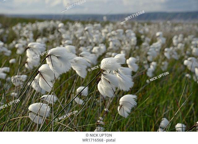 Dense stand of common cottongrass (Eriophorum angustifolium) flowering on damp moorland, the Gower Peninsula, Wales, United Kingdom, Europe