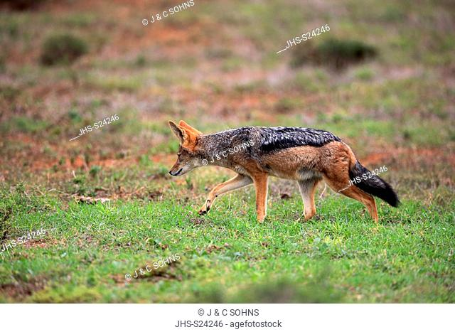 Black-Backed Jackal, (Canis mesomelas), adult alert searching for food, stalking, Addo Elephant Nationalpark, Eastern Cape, South Africa, Africa