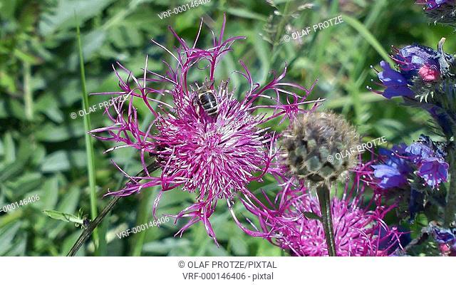 Close up of a bee feeding on a violet spring Centaurea triumfetti flower
